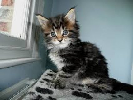 Maine Coon Kittens For Rehoming 4442