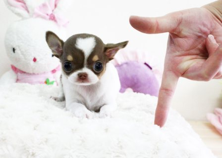 Teacup Chihuahua Puppies Available 553