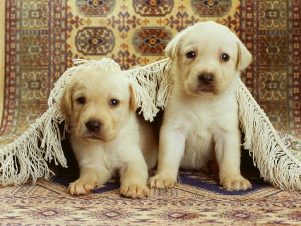 Pure Breed Labrador Puppies for adoption33