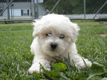 Pure Breed bichon frise puppies for adoption55