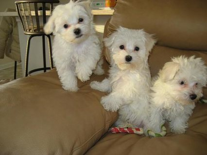Male  And Female Maltese Puppies Ready To Go Home77