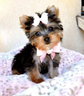 صور Nice Tea Cup Yorkie Puppies For Adoption44 1