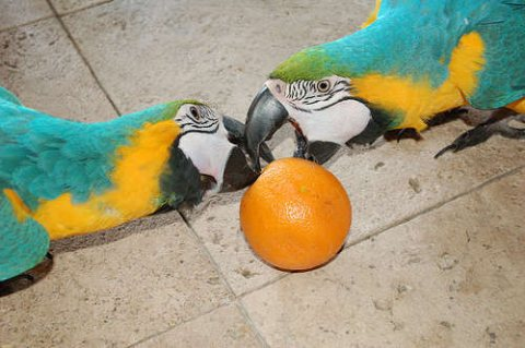 Home raised Blue And Gold Macaw Parrots Available.33