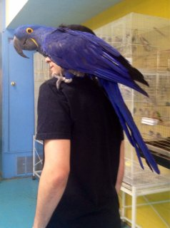Pair Of Hyacinth Macaw Parrots Looking For A New Home	44