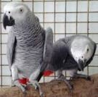 lovely and adorable african grey parrots