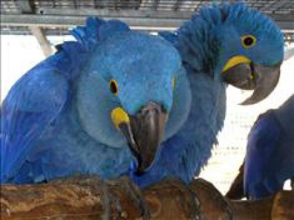 Talking Pair Of Hyacinth Macaw Parrots for sale...