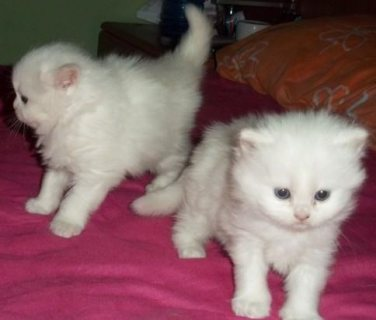 Nice Looking Persian Kittens Available....