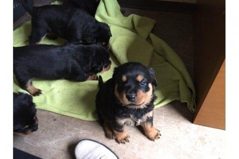 Elegant Teacup Rottweiler Puppy