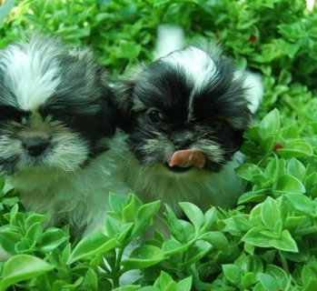Litter of shih tzu pedigree