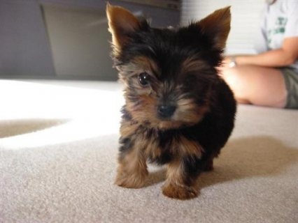 Amazing and adorable yorkie puppies