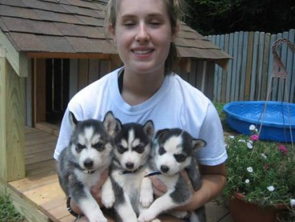 Siberian husky puppies ready
