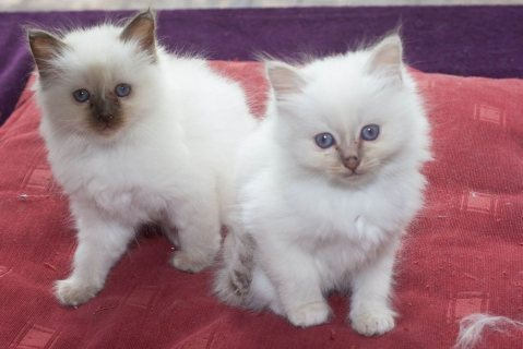 Two Birman Kittens For Sale.......