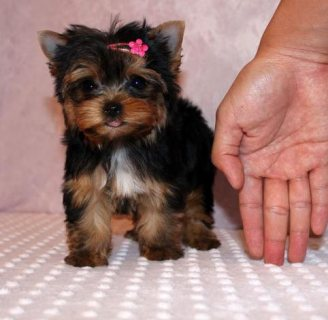 Excellent Teacup Yorkie Puppies For Sale..