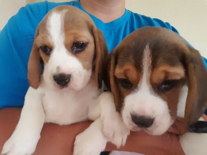 Beautiful Beagle Puppies for adoption,.