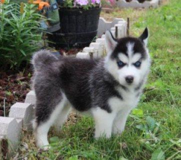 Siberian Husky Puppies...