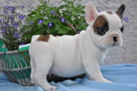 Cute French Bulldog Puppies For adoption...