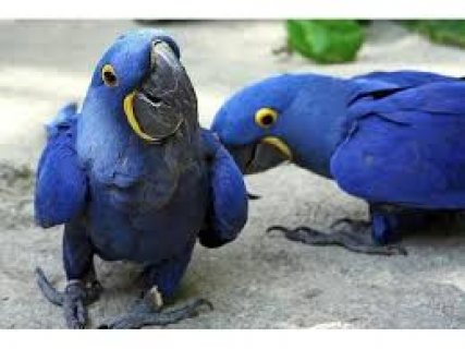 Talking Pair Of Hyacinth Macaw Parrots..