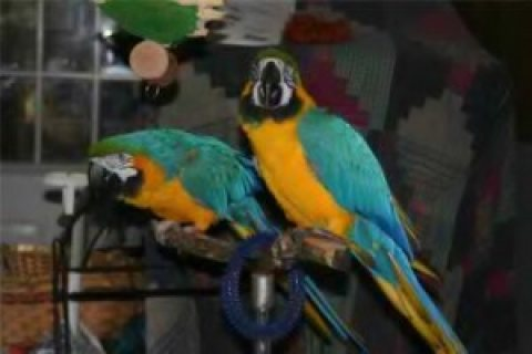 Healthy male and female Blue and Gold Macaw Parrots for sale