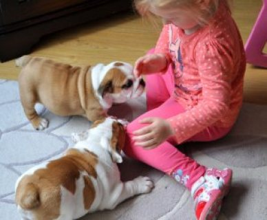 Georgeous English Bulldog Puppies For Sale