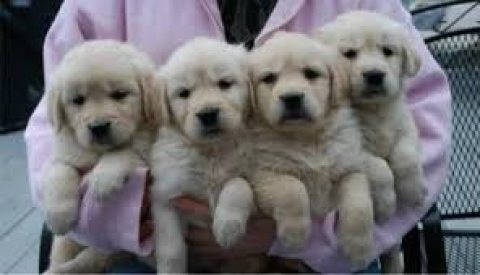 Males and females Golden Retriever puppies for sale....
