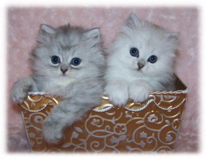 Gorgeous Teacup Pure White Persian kitten for sale