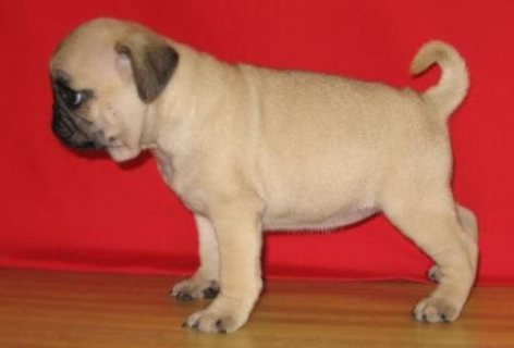 Now available Pug puppies for re-homing