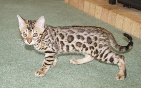 Bengale kittens (Male and female)