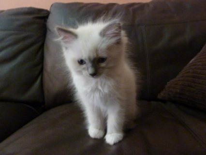 13 Ragdoll kittens for adoption