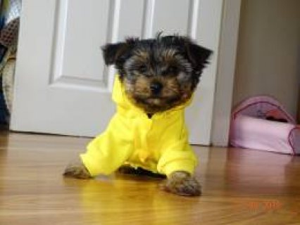 Toy Size Yorkshire Terrier Puppies For Sale
