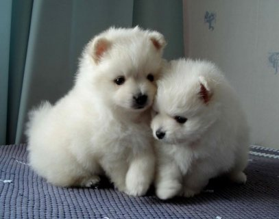 gorgeous pomeranain puppies now available
