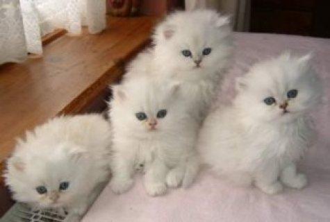 Blue Eyed White Persian Kittens for adoption