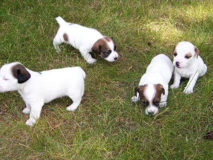 Healthy, adorable Jack Russell puppies available.