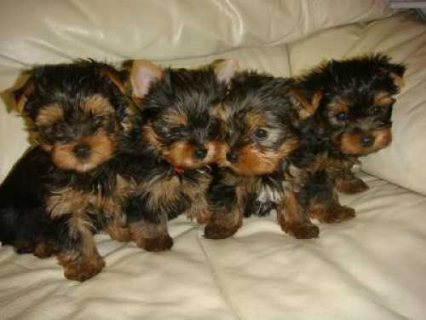 Cute Female Yorkshire terrier Puppies Available