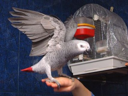 African grey parrots for sale./././