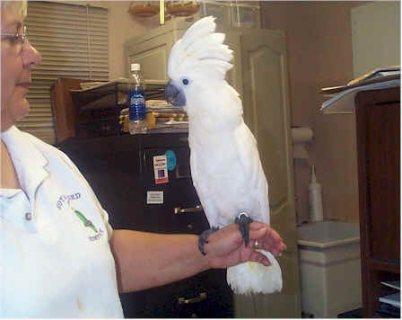 Umbrella Cockatoo Parrots for sale