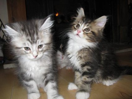 Cute Maine Coon Kittens for sale