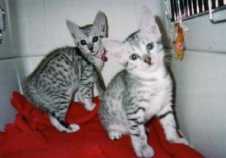 Beautiful Egyptian Mau Kittens for Adoption