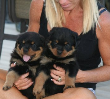 Excellent Rottweiler Puppies for Sale