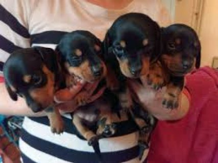Male and female dachshund puppies for sale /.././/./././.