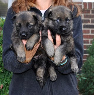 Cute male and female German Shepherd puppies for sale.,,.././.