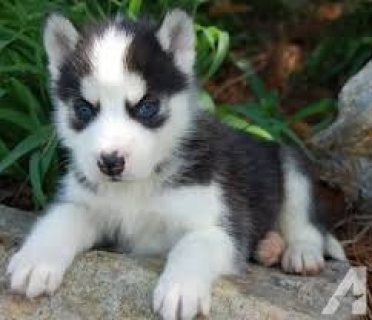 صور Super adorable Siberian Husky puppies. 1