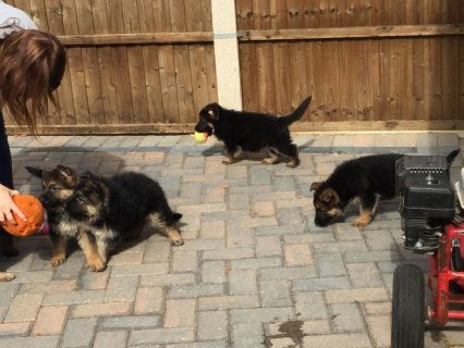 صور Pedigree German Shepherd puppies. 1