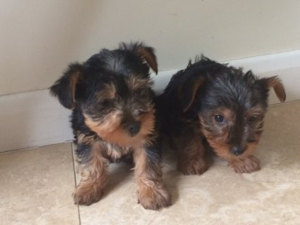 11 weeks old Yorkshire  Puppies for Adoption