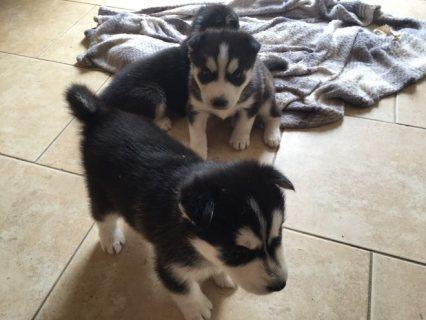 Siberian Husky Puppies puppies,