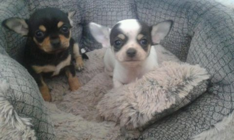 Teacup chihuahua pups ready