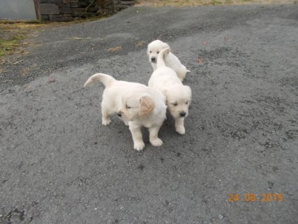 Beautiful and sweet natured pedigree Labrador pups available
