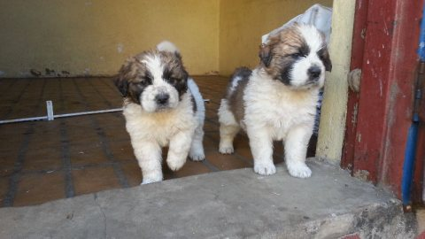 Pure breed saint bernard puppies for sale
