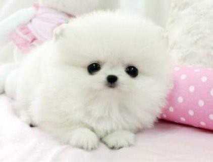 Lovely Male and Female Tiny Teacup Pomeranian Puppies,,,,,,.....