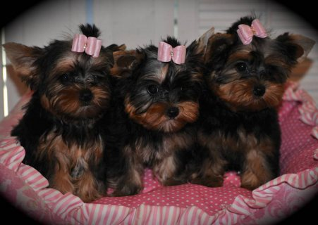 صور These precious little Yorkies are ready for their forever Home 1