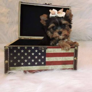 صور Two Outstanding And Adorable Home Trained Teacup Yorkieo1 1